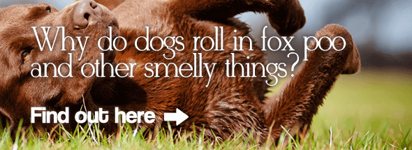 Why Do Dogs Roll in Fox Poo and Other Smelly Things?